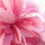 pink1seperator